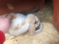 2 Female Rabbits for sale + Double hutch