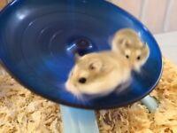 2 young Roborovski male hamsters