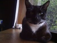 MISSING CAT - OLIVER £100 REWARD FOR SAFE RETURN