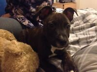Good home wanted for a brindle and white staffy puppy 10 weeks old £100 ono