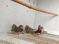 BROWN AND WHITE Zebra Finches