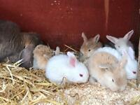 Lovely baby French lop bunny rabbits