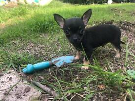 Apple Head, Short Haired little Chihuahua Puppie For Forever Homes