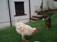 FREE TO GOOD HOME 1 MIXED BREED YOUNG COCKERELS, 3 MONTHS OLD FROM THIS YEAR.