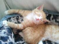 beautiful ginger kitten Ono