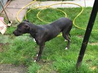 3/4 greyhound 1/4 bull terrier