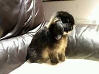 Lop Rabbit free to good home