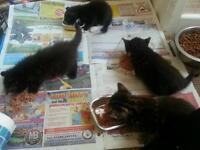3 males kittens