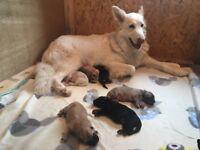 8 German Shepherd Puppies for sale