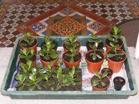 job lot of money plants(would suit garden centre).