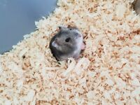 2x Dwarf hamsters plus cage, food and accessories