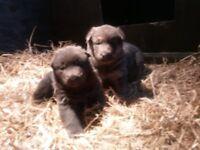 Rare Blue German Shepherd Puppies