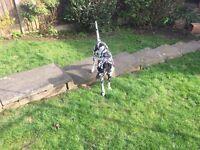 Male Dalmatian for sale