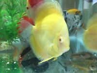 Discus fish for sale .