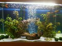 Complete 100l fish tank set up with fish and stand