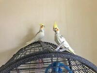 9 week old Cockatiels looking for loving new home