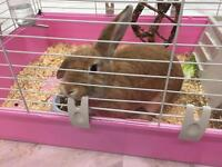 Beautiful bunny rabbit for sale with cage