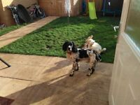 Springer spaniel for rehoming