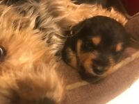 Lovely JORKIE puppies , Yorkie x Jack Russell