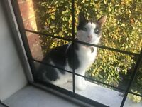 Missing Black and White cat - lost from BH12 area of Parkstone on 24th August 2016