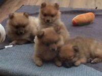 Pedigree male Pomeranian puppies for sale ready in 1 Week
