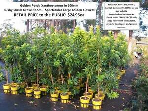 Need A SHADE or FEATURE Tree? YOU MUST SEE THESE! HS102 Tallai Gold Coast City Preview