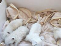 Westie puppies
