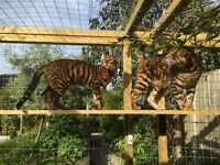 beuatiful toyger kittens availiable