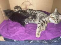 Beautiful kittens 2x female x1 male london