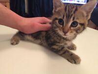 1 beautiful Tabby kitten! Ready today!!