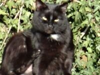 lost large black cat