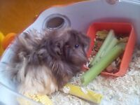 !!!LOOK !!!!For Sale Guinea Pig hard to find one like him!!! needs new home asap!!!