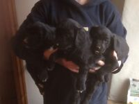 Cocker spaniel cross sheepdog pups
