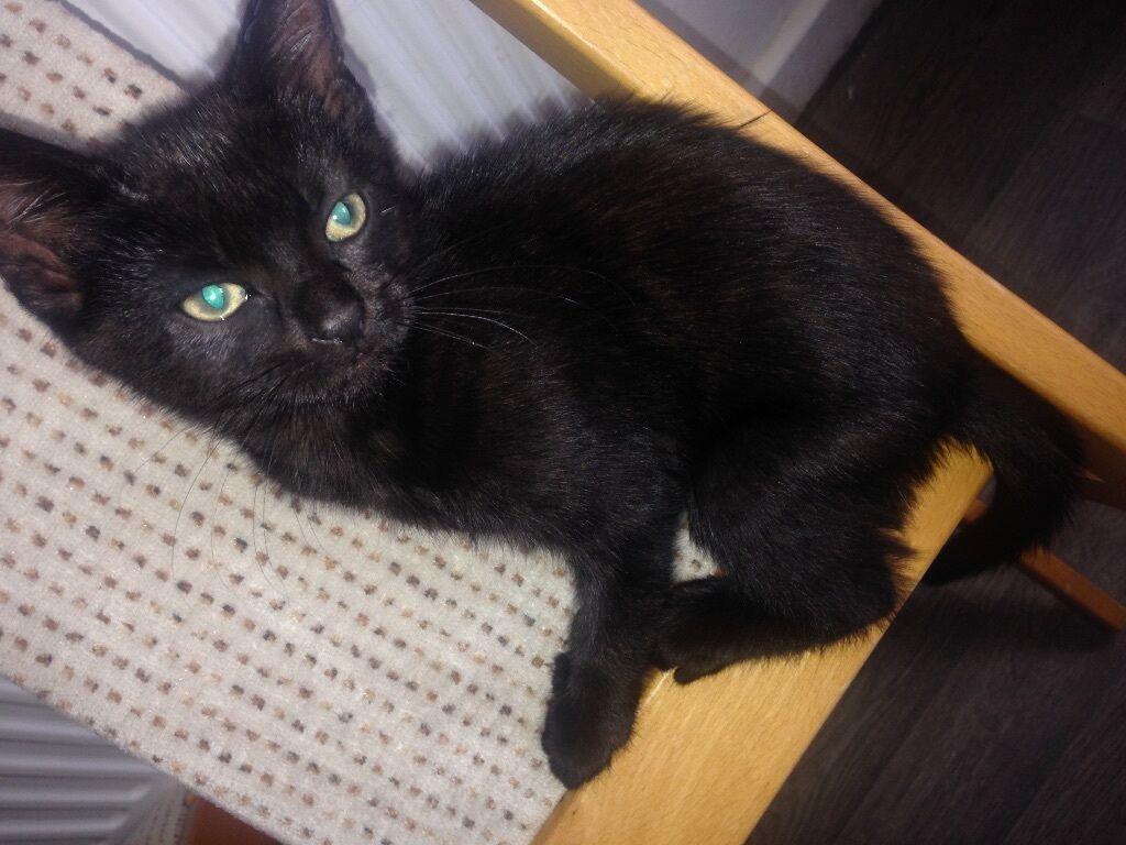 Unique black kitten for sale male kitten tabby green eyes