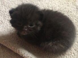 6 beautiful British blue shorthair x kittens