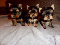 Super tiny extremely cute teacup Yorkie
