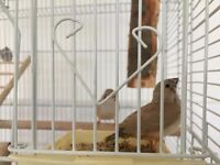 Zebra Finches Ready to leave the nest