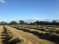 Excellent Meadow hay 2016, professionally cut , turned , baled and stored.