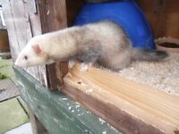 One ferret, one polecat for sale. Female with cage
