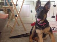 German Shepherd - 8 months - female