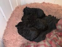 Gorgeous Jack Russell x Poodle puppies