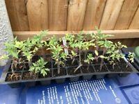 27 Moneymaker Tomato Plants