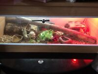 2 bearded dragons with tank and everything one male one female