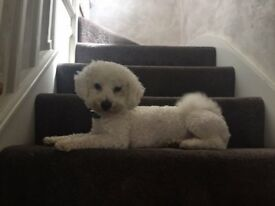 Dog for sale a bichon frise 1 year old