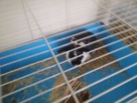 BLACK AND WHITE FEMALE HOUSE RABBIT