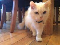 Beautiful white female cat for adoption