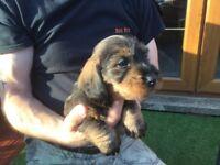 Kc reg Wirehair Dachshund pups ( Teckels)