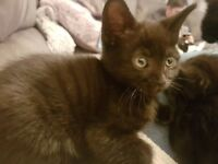 Kittens 8 weeks old litter trained weaned wormed and flea treated