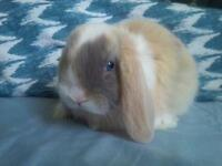 Beautiful Pure Bred Holland Lop baby bunnies!