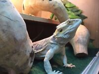 One year old bearded dragon and vivarium for sale in Trowbridge.